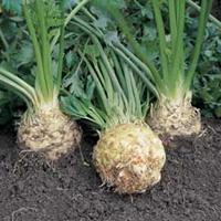 Корень сельдерея для похудения: самый полезный овощ